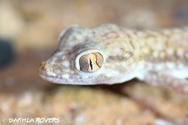 Dakhla Rovers: Anderson's Short-fingered Gecko, Stenodactylus petrii, #DakhlaNature @iNaturalist