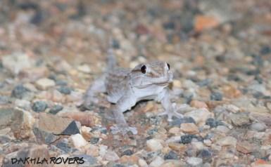 Dakhla Rovers: Ringed Wall Gecko, Tarentola annularis, #DakhlaNature @iNaturalist