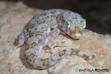 Dakhla Rovers: Elegant gecko, Stenodactylus stenodactylus, #DakhlaNature @iNaturalist
