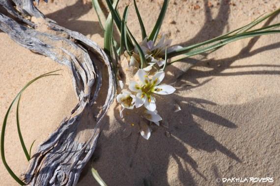 #DakhlaRovers #desert #dune