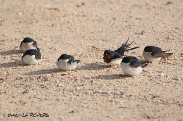 #DakhlaRovers #CommonHouseMartin #BarnSwallow