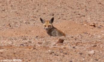 #DakhlaRovers #RüppelsFox