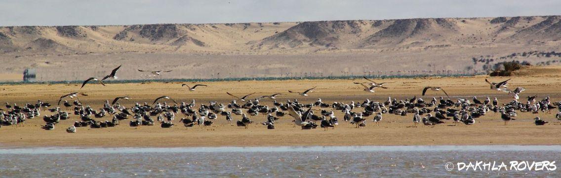 Dakhla Rovers: Lesser Black-backed Gull, Larus fuscus, #DakhlaNature @iNaturalist