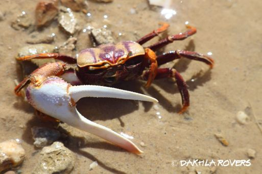 #DakhlaRovers #WestAfricanFiddlerCrab