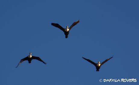 Dakhla Rovers: Great cormorant, Phalacrocorax carbo, #DakhlaNature @iNaturalist