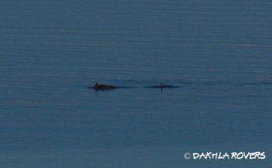 #DakhlaRovers #AtlanticHumpbackedDolphin