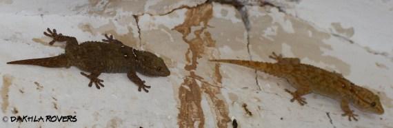 Dakhla Rovers: Ringed Wall Gecko, Tarentoa annularis, 'DakhlaNature @iNaturalist