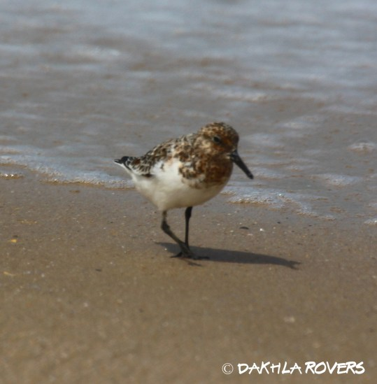 Dakhla Rovers: Sanderling, Calidris alba, #DakhlaNature @iNaturalist