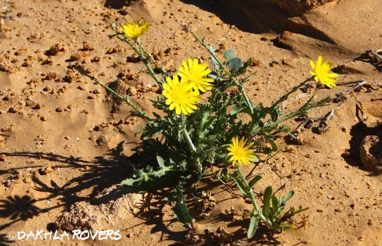 Dakhla Rovers: Launaea nudicaulis, #DakhlaNature @iNaturalist