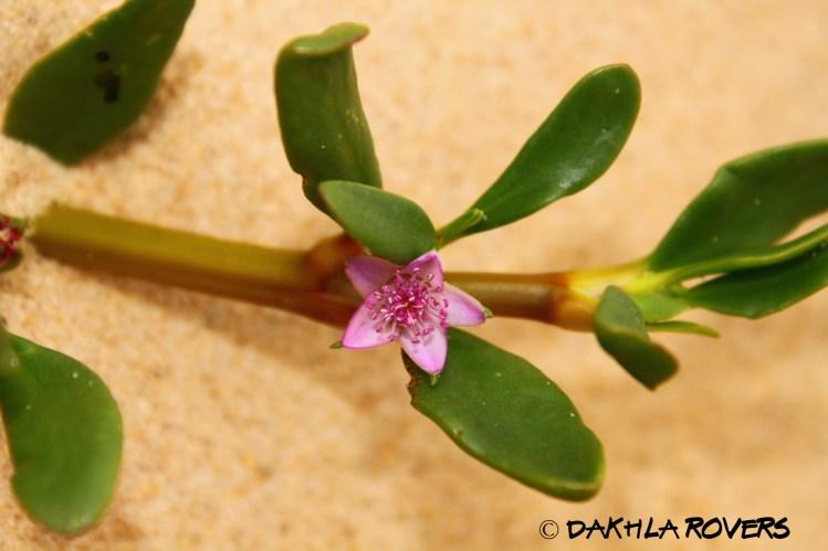 Dakhla Rovers: Sea Purslane, Sesuvium portulacastrum, #DakhlaNature @iNaturalist