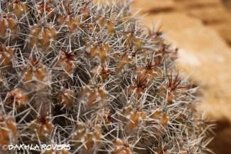 #DakhlaRovers #desert spurge