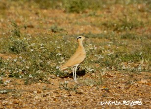 Dakhla Rovers: Cream-colored Courser, Cursorius cursor, #DakhlaNature @iNaturalist