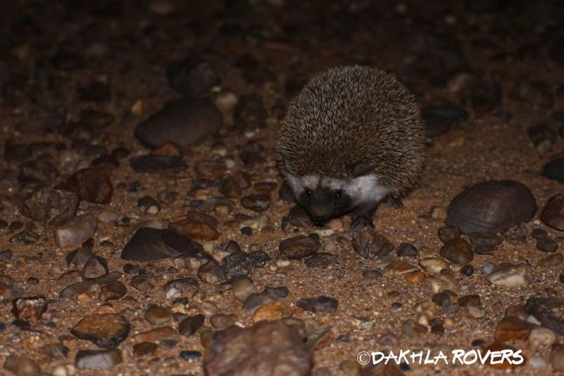Dakhla Rovers: Desert Hedgehog, Paraechinus aethiopicus, #DakhlaNature @iNaturalist