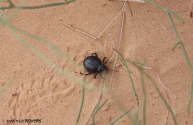 Dakhla Rovers: Onymacris sp., Desert beetle, #DakhlaNature @iNaturalist