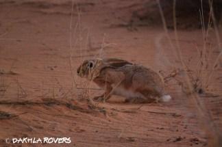 Dakhla Rovers: Hare, Lepus, #DakhlaNature @iNaturalist