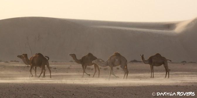 Dakhla Rovers, Desert Safari Tours