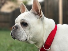 Mama Lychee our foundation female. She produced some of the beautiful frenchies here at Bonsai Jungle. She has since retired and lives a great life here at the Jungle.