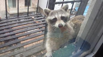 Weezy / Raccoon