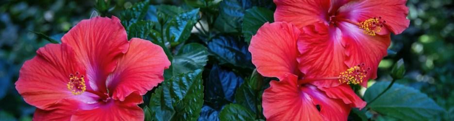 Brilliant Hibiscus: Four Views