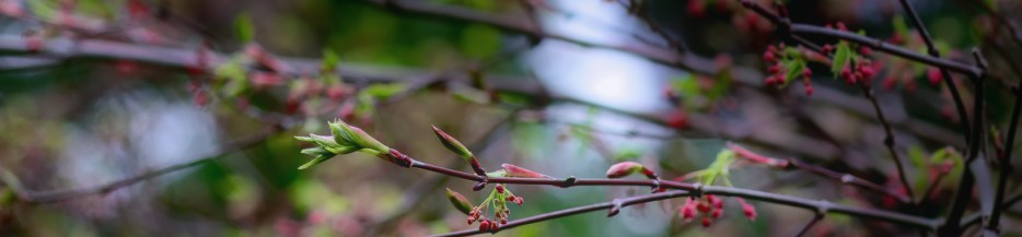 Japanese Maple Spring Berries: A Gallery