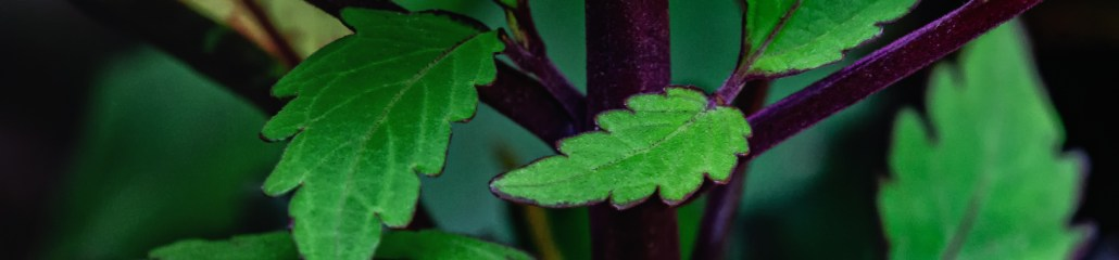 Wordless Wednesday: Special Effects Coleus