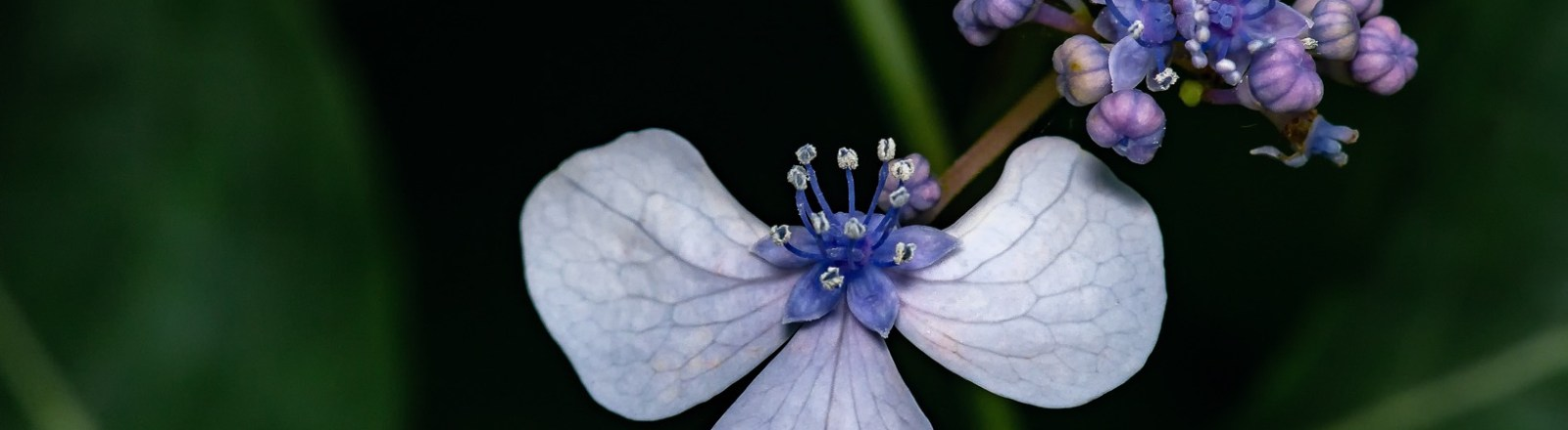 Exploring Photography: Hydrangea Gallery 4 of 4