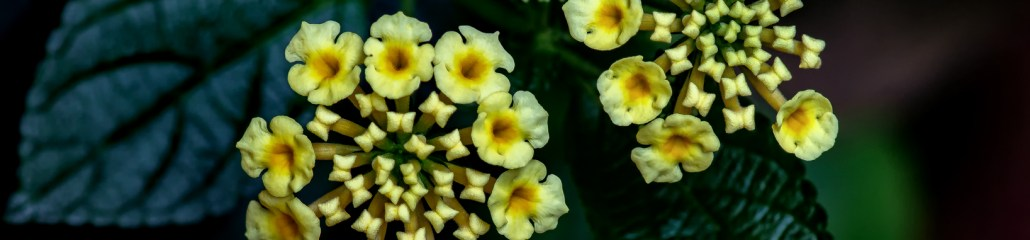 Chapel Hill Yellow Lantana: Gallery 1 of 4