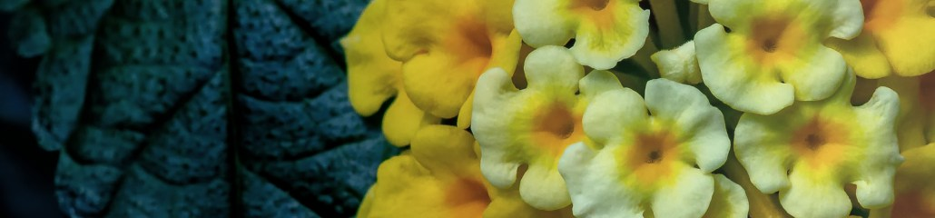 Chapel Hill Yellow Lantana: Gallery 2 of 4