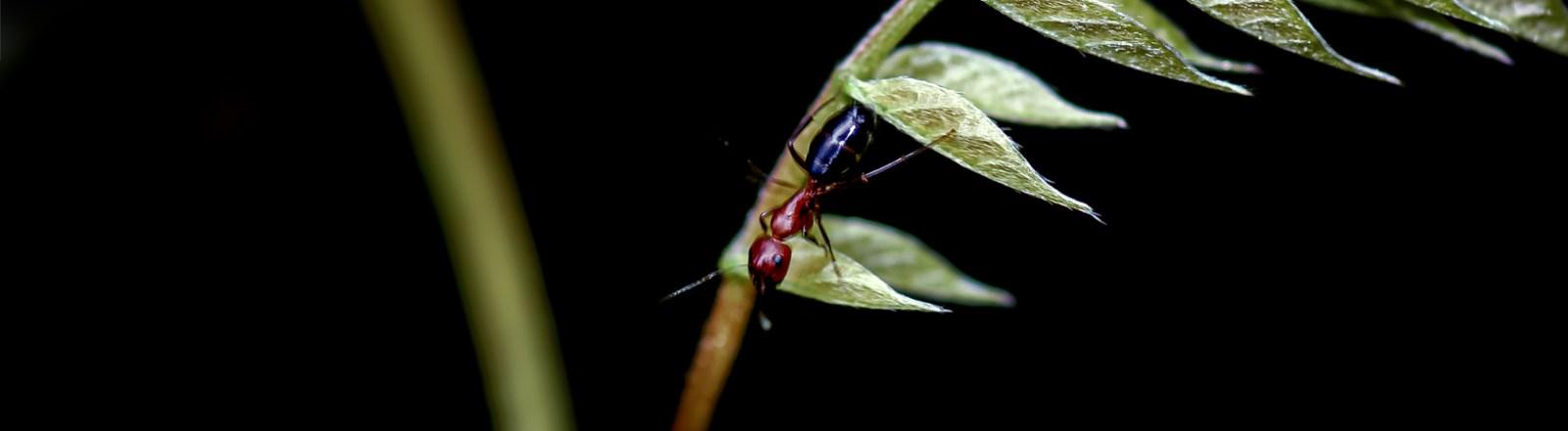 The Red and the Black, and the Red-and-Black Ant