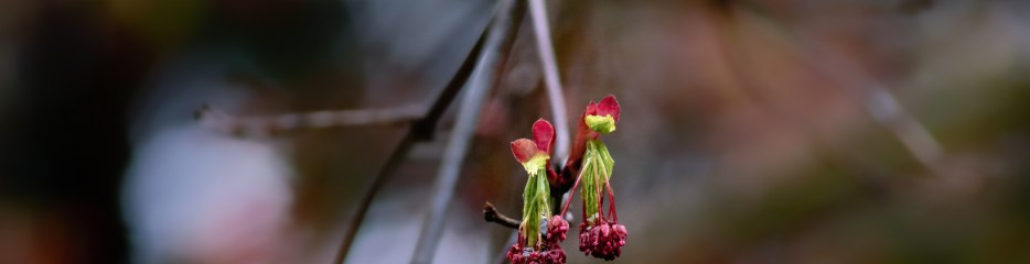 Japanese Maple Anticipating Spring (1 of 2)