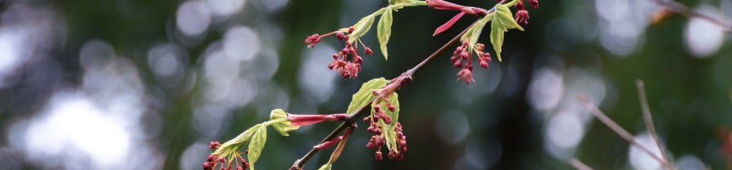 Japanese Maple Anticipating Spring (2 of 2)