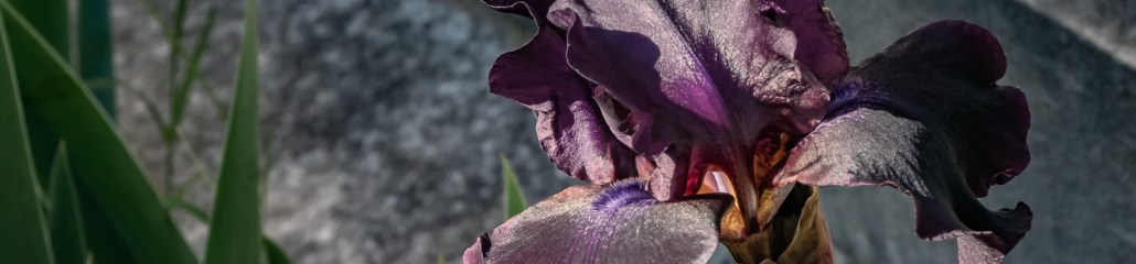 A Profusion of Irises: Black (Iris) Friday!