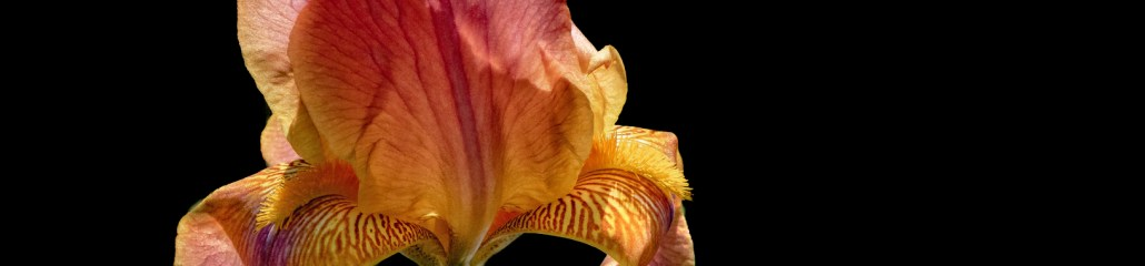A Profusion of Irises: Sun-Kissed Shades of Orange