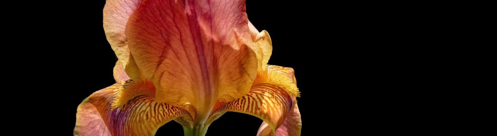 A Profusion of Irises: Sun-Kissed Shades of Orange