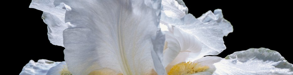 A Profusion of Irises: White Blooms on Black Backgrounds