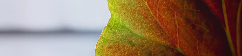 Begonia Leaf, Backlit, in a Window on a Rainy Day
