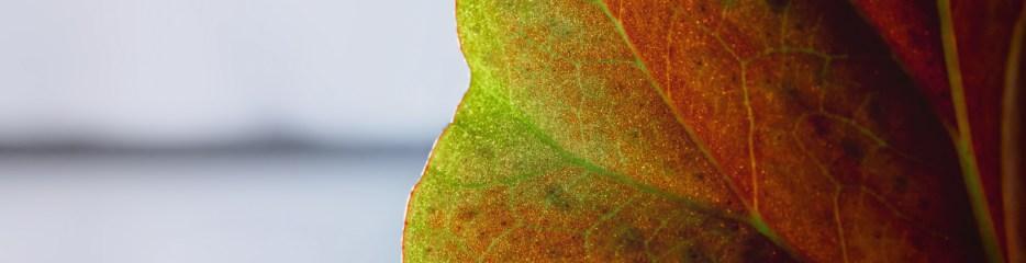 Begonia Leaf, Backlit, in a Window on a Rainy Day