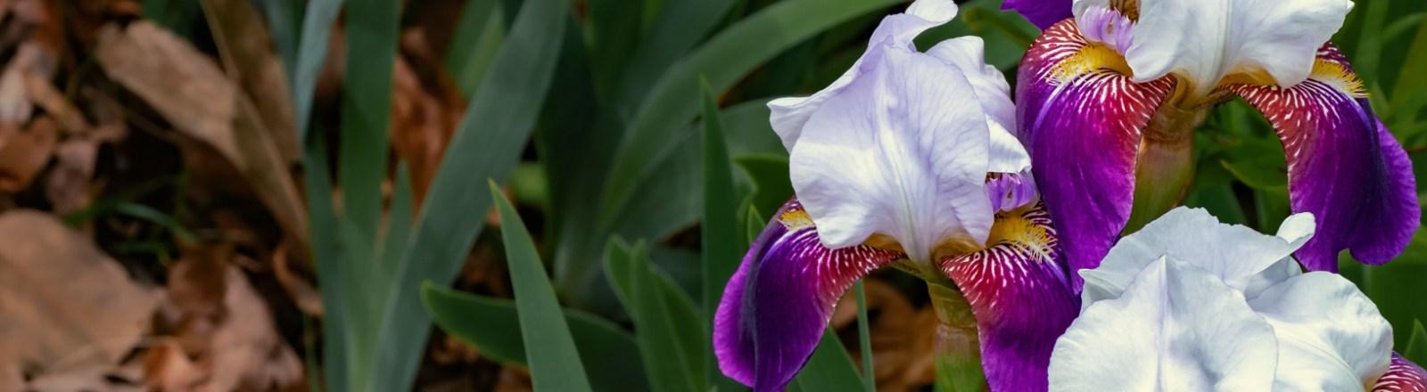 Bearded Irises: White Standards, Purple Falls (1 of 3)
