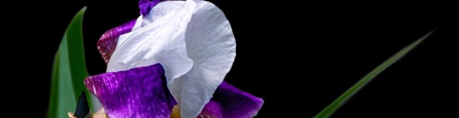 Bearded Irises: White Standards, Purple Falls (3 of 3)