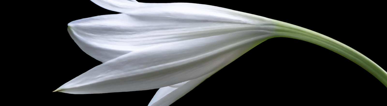 White Lilies (2 of 2)