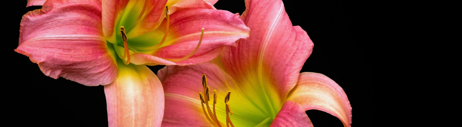 Lilies on Black Backgrounds (7 of 10)