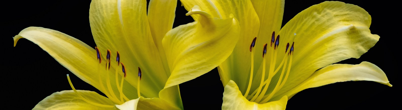 Lilies on Black Backgrounds (2 of 10)