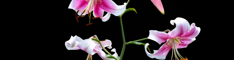 Lilies on Black Backgrounds (8 of 10)