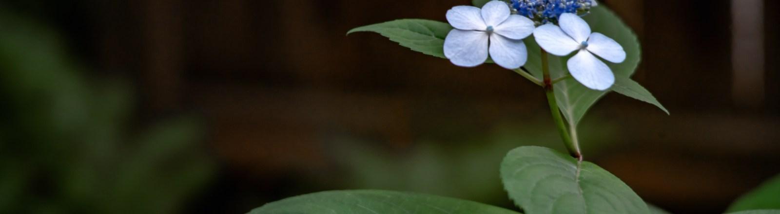 Baby Bluebird … Hydrangeas (2 of 2)