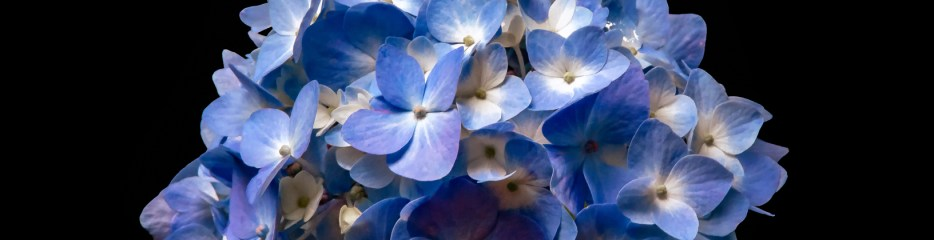 Big Blue (and Black and White) Hydrangea Blooms