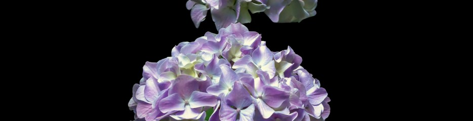 Hydrangeas on Black Backgrounds (and Hunting for Hortense)