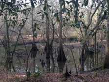 """These are called """"buttressed"""" trees. They had to adapt to the water by forming wide trunks."""