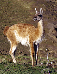 Guanaco. Copyright Donnelle Oxley