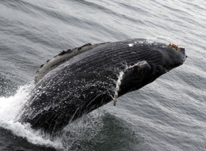 Humpback whale breeching. Copyright Donnelle Oxley