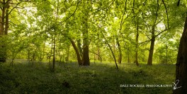 Bluebell Wood Panoramic1_190513
